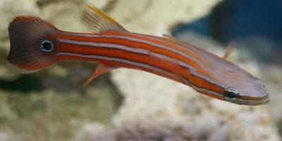 Australian Flathead Perch