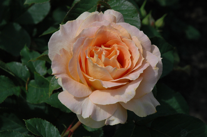 Amazing Intensely Fragrant Roses