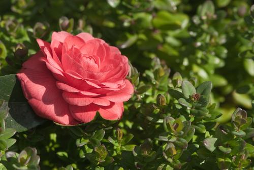 Rarest Flower