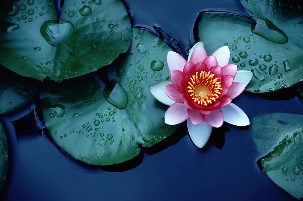 Beautiful Aquatic Flower