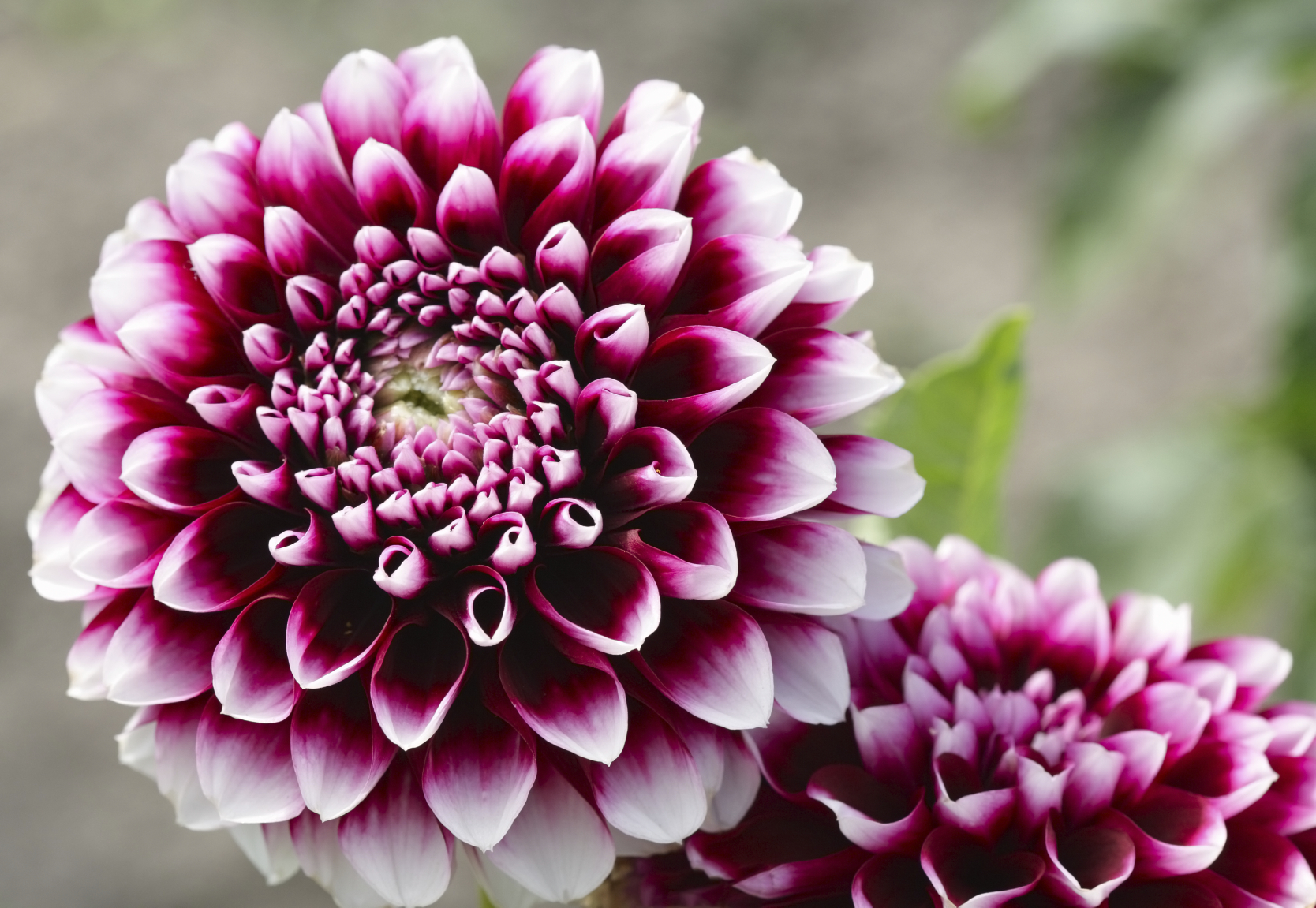 Top 10 most awesome beautiful flowers in the world with details in the list of top 10 most awesome beautiful flowers in the world dahlia is at no 7is is the 7th awesome beautiful flowers in the world and also on our izmirmasajfo