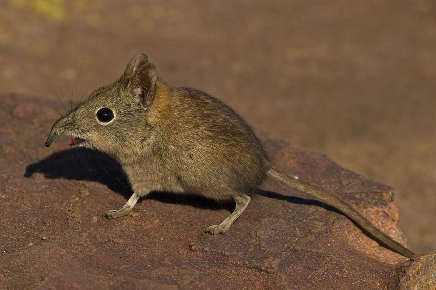 Etruscan Shrew Smallest Animal In The World