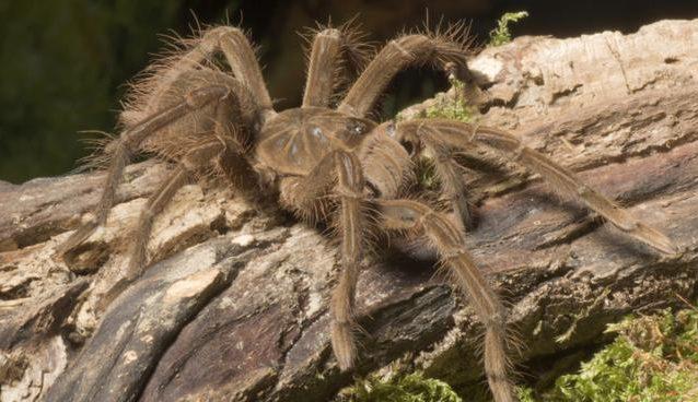 Worlds Largest Spider