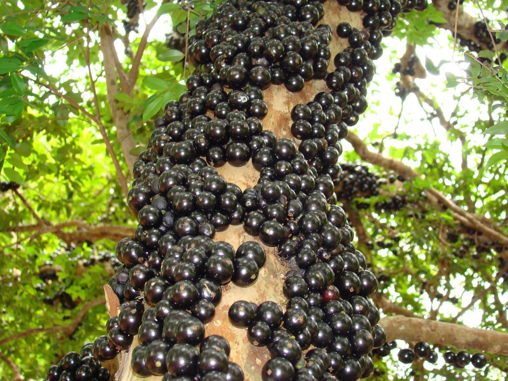 Rarest Fruits In The World. Jabuticaba Fruit