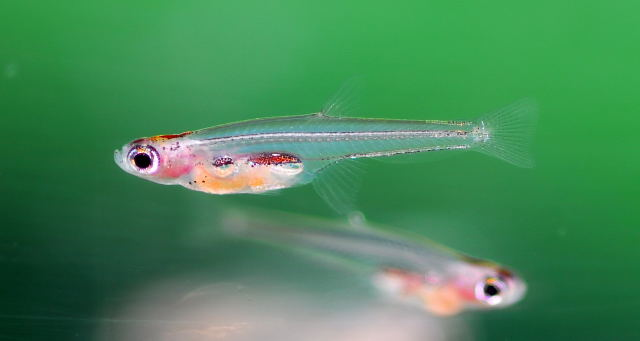 Smallest Animals In The World, Paedocypris Fish