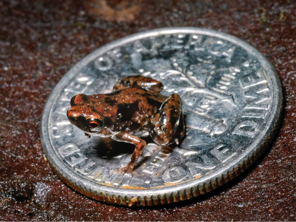 Smallest Animals In The World, Paedophryne Amanuensis