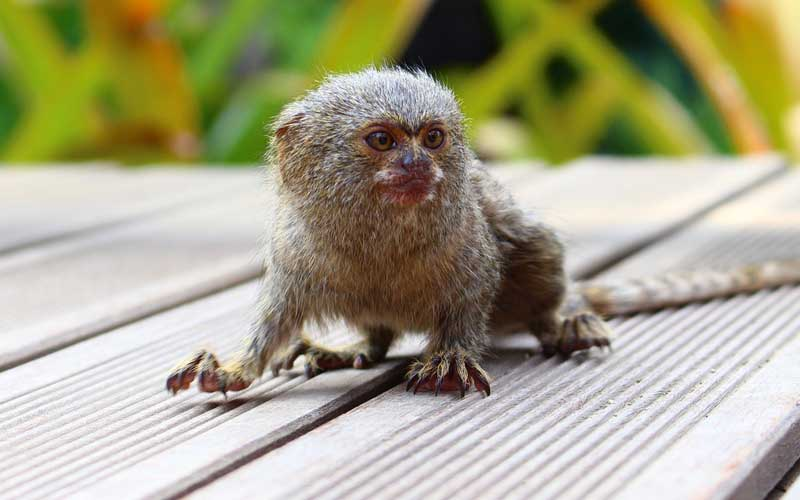 Smallest Animals In The World, Pygmy Marmoset