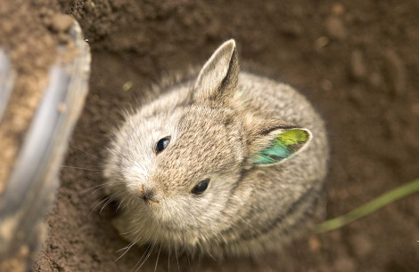 Smallest Animal In The World, Pygmy Rabbit