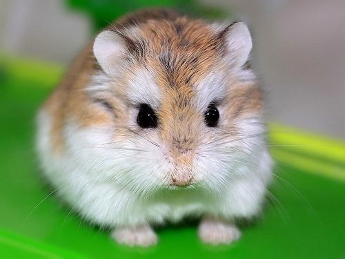 Photo of Top 5 Most Popular Hamsters Breeds In The World