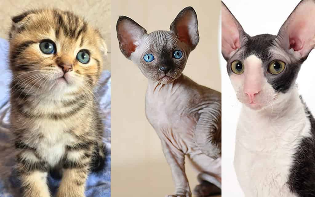 Top 10 Smallest Cat Breed In The World