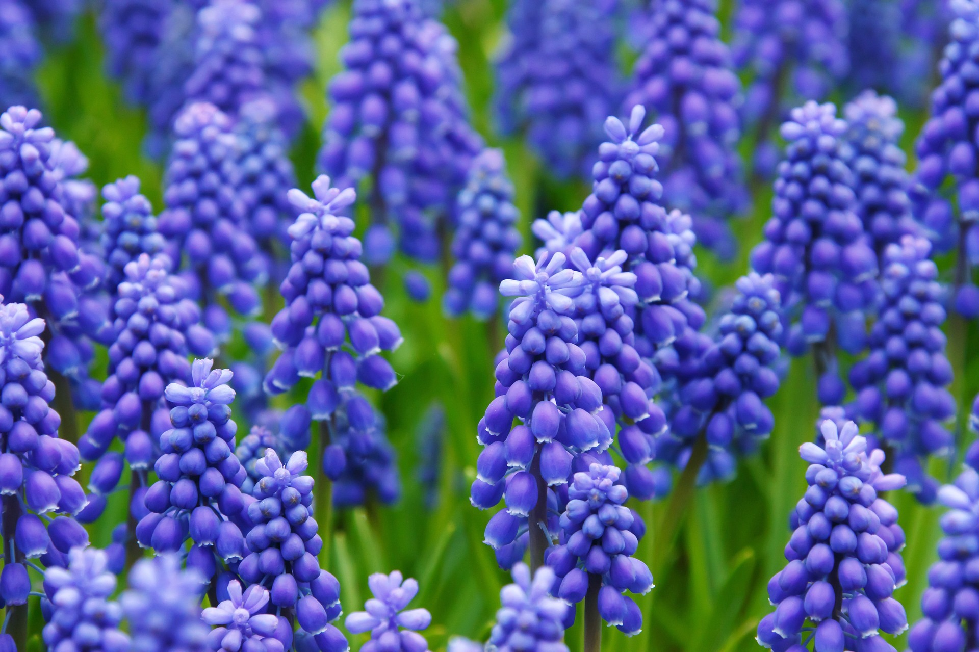 Top 10 most beautiful blue flowers in the world 2017 in the list of the top 10 most beautiful blue flowers in the world grape hyacinth flower is at no 7is is the 7th most beautiful blue flowers in the izmirmasajfo Gallery