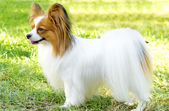 Small Dog Breeds In The World