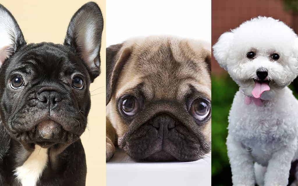 Photo of Top 10 Smallest Dog Breeds In The World