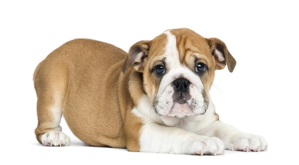 Photo of Top 10 Bulldog Breeds In The World