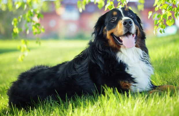 Top 10 Most Quiet Dog Breeds In The World 2018