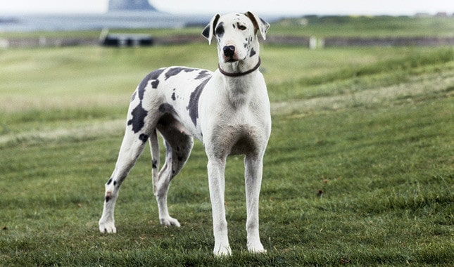 small dog breeds that don't bark or shed