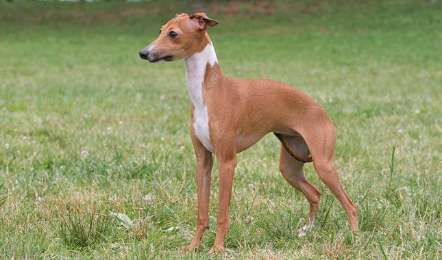 barkless dog breeds