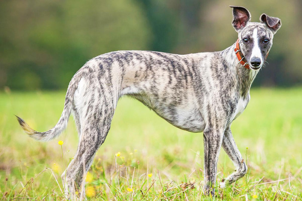 quiet dog breeds for apartments