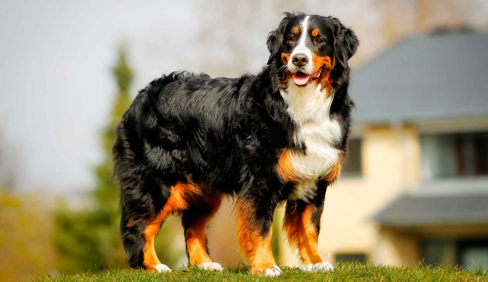 7 most expensive dog breeds