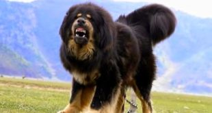 most expensive dog in the world 2017